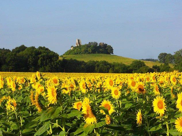 Castle ruin viewed across sunflower field